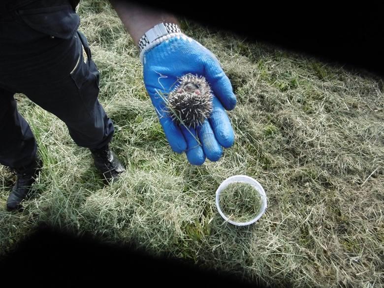 """Przy placu zabaw """"Miś"""" w Inowrocławiu znalezione zostały małe jeżyki. Ich matka była martwa. Strażnicy miejscy przetransportowali jeżyki"""