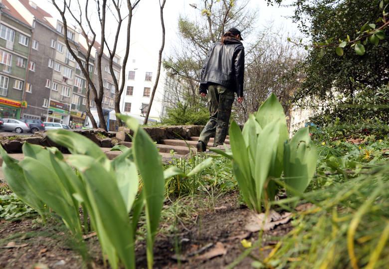 Kwitnące tulipany padają ofiarą złodziei [zdjęcia]