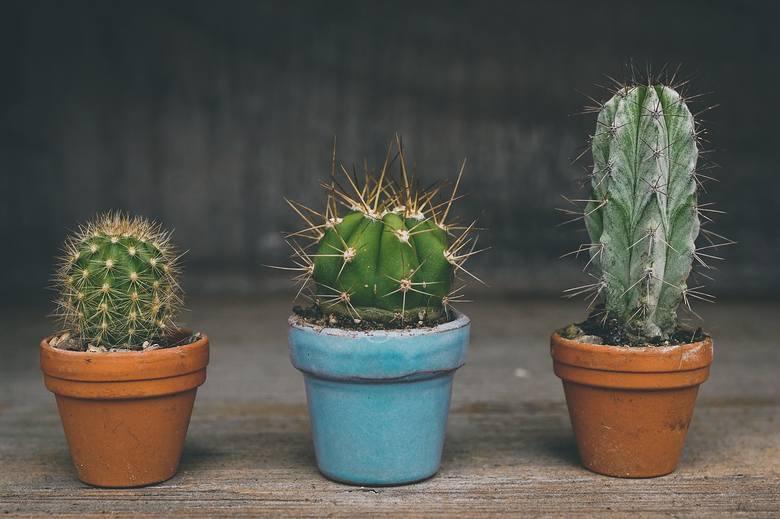KaktusKaktusom przypisuje się sprawianie ludziom cierpienia i bólu. Kaktusa nie powinno trzymać się szczególnie w sypialni, jest odpowiedzialny za zawody