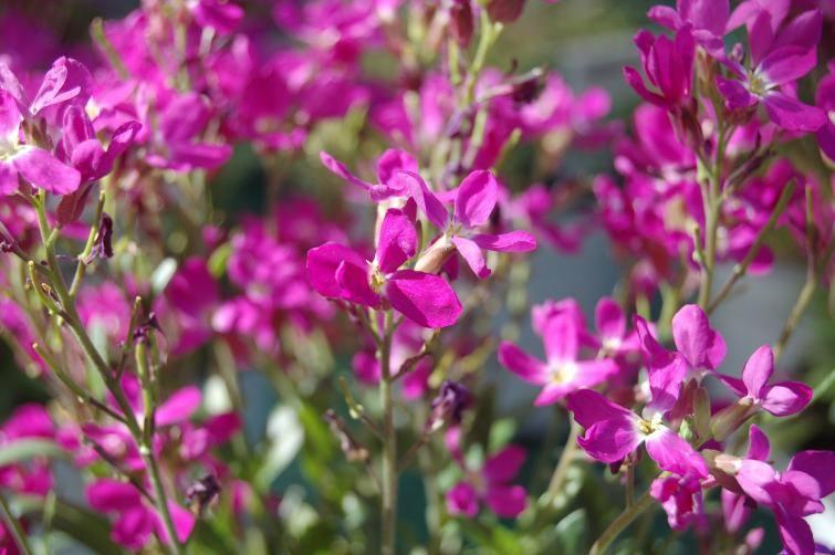 Maciejka (lewkonia dwurożna) to jeden z bardziej aromatycznych gatunków, pachnących głównie późnym popołudniem i wieczorem. To niewielka roślinka (ok.
