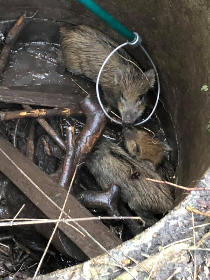 Strażacy z OSP Ustronie Morskie uratowali w czwartek cztery młode dziki, które wpadły do niezabezpieczonej studni w parku przy ul. Marynarki Wojennej