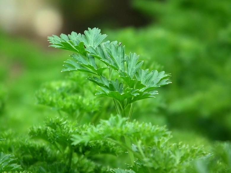 Mimo że zielona - to wspaniałe źródło beta-karotenu. Ma też dużo potasu, wapnia, kwasu foliowego, witaminy E, K oraz PP, jednak to nie wszystko. Pietruszka