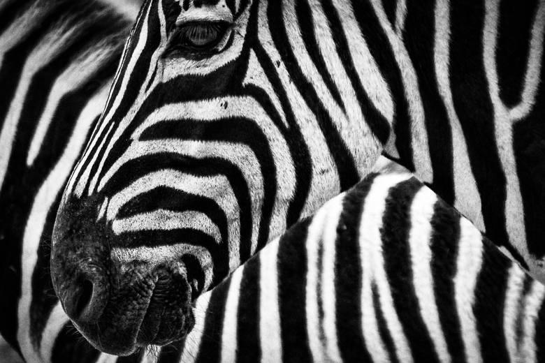Wyroby i skóry: zebry i antylopy.