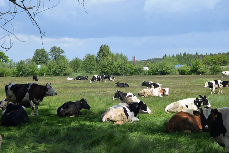 Duże stado krów pod Sieradzem - ZDJĘCIA