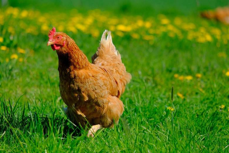 Na obszarze zapowietrzonym nakazuje się:1) utrzymywanie drobiu lub innych ptaków w odosobnieniu, w kurnikach lub innych zamkniętych obiektach budowlanych