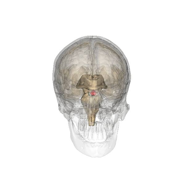 Przysadka mózgowa jest zlokalizowana głęboko wewnątrz czaszki, blisko siodła tureckiego (charakterystycznego kostnego zagłębienia w czaszce).