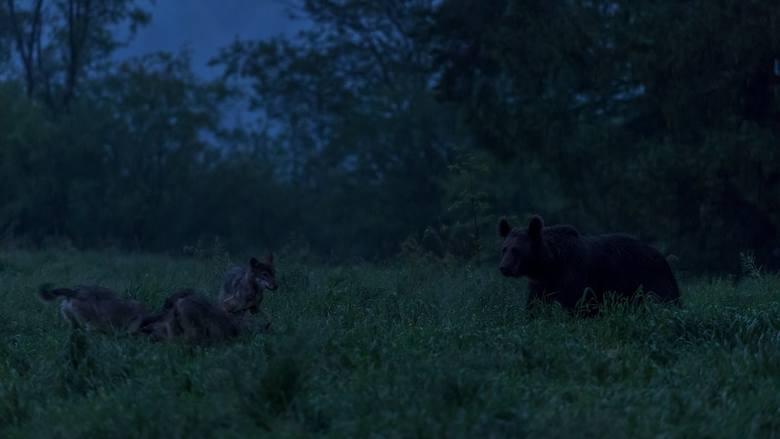 To polana wilków, niedźwiedź jest intruzem. Postanowiły dać mu nauczkę. Przywarowały pyskami do ziemi i skoczyły na niego. Miś z łatwością by się obronił, ale wilki były tak zdesperowane, że salwował się ucieczką w gęsty las.<br />