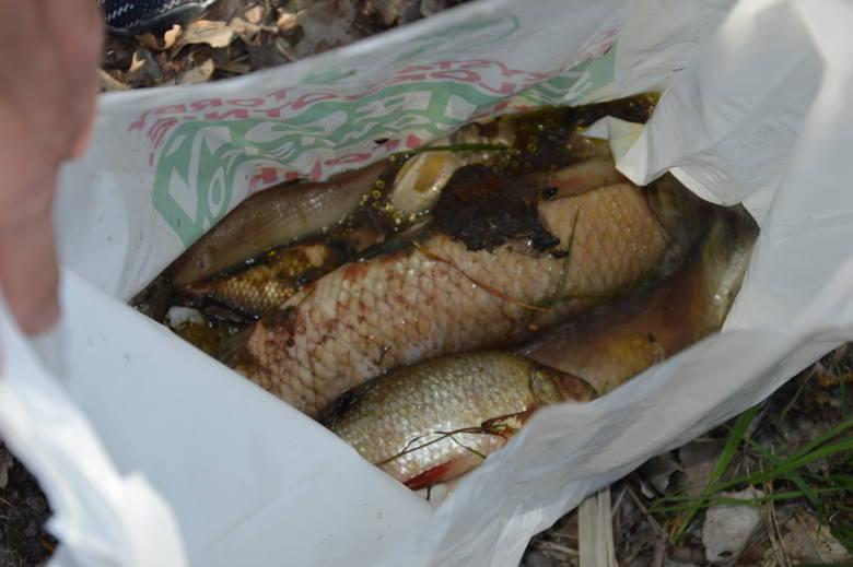 Żary.Wędkarze wyłowili już kilogramy śniętych ryb  na kunickim stawie!