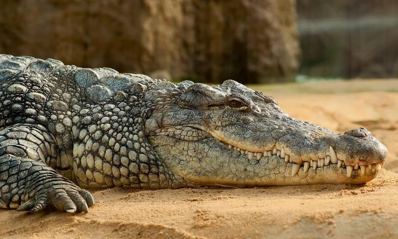 <strong>4. Odchody krokodyla</strong><br /> <br /> W starożytnym Egipcie popularnym <strong>środkiem antykoncepcyjnym był... krokodyl</strong>. A dokładniej jego odchody, które ususzone wkładano w pochwę. Tam miękło, a gdy osiągnęło temperaturę ciała tworzyło nieprzekraczalną barierę. <br /> <br /> Do...