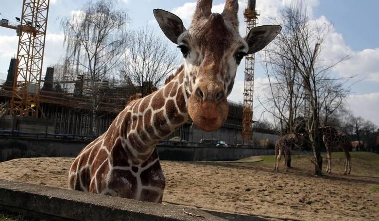 """Kolejną z opcji wartych odnotowania podczas """"weekendu za pół ceny"""" jest wizyta w Śląskim Ogrodzie Zoologicznym. W najbliższy weekend"""