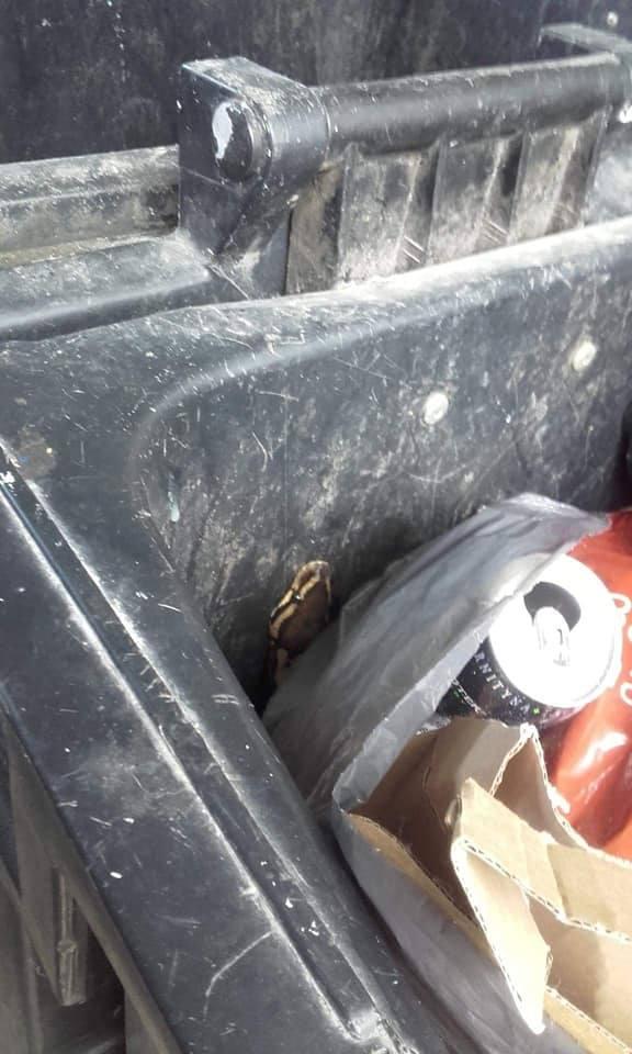 Na początku czerwca w śmietniku przy ul. Tatarakowej siedział pyton królewskiW końcu udało się odnaleźć właściciela gada. Okazało się, że jest to młody