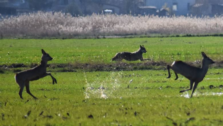Fotografie z nieudanego polowania wilków na sarny, pani Katarzyna wykonała w okolicach Nietkowa.