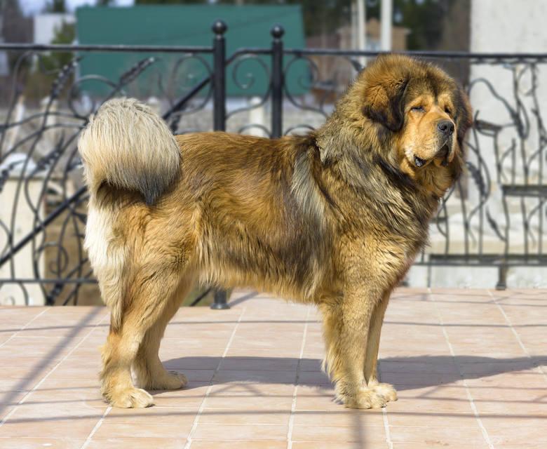 Mastify nie są psami dla każdego. W Polsce nie są szczególnie popularne, choć mastifów tybetańskich stopniowo przybywa. Osoby decydujące się na psy tych