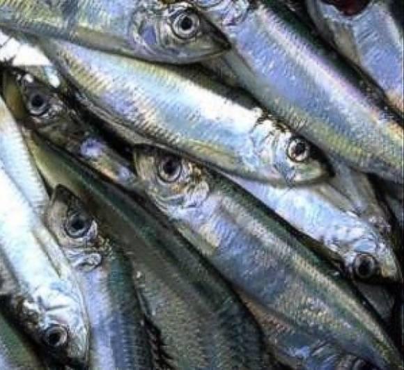 Rybacy nie mogą łowić śledzi na zachód od Niechorza