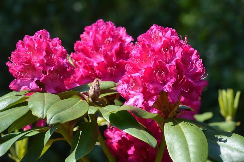 Są takie krzewy, które na zimę nie tracą liści i byliny, które nie zanikają w tym okresie. Warto je mieć, bo zimą napełnią ogród zielenią, a wiosną i