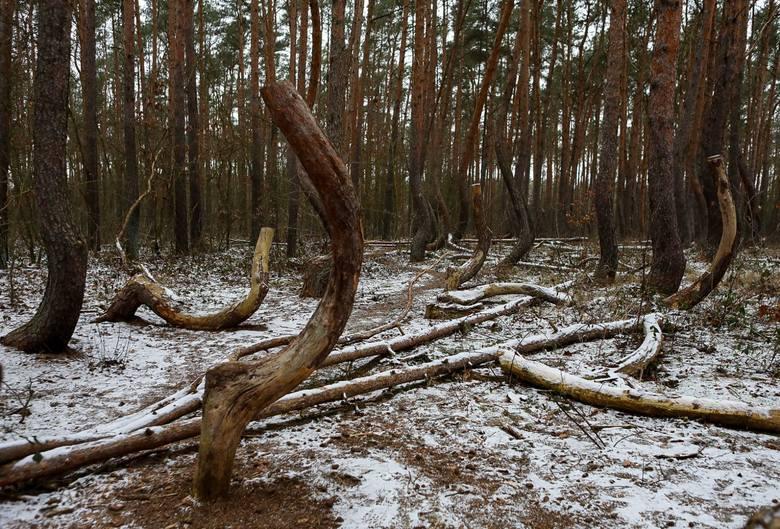 Krzywy Las pod Szczecinem