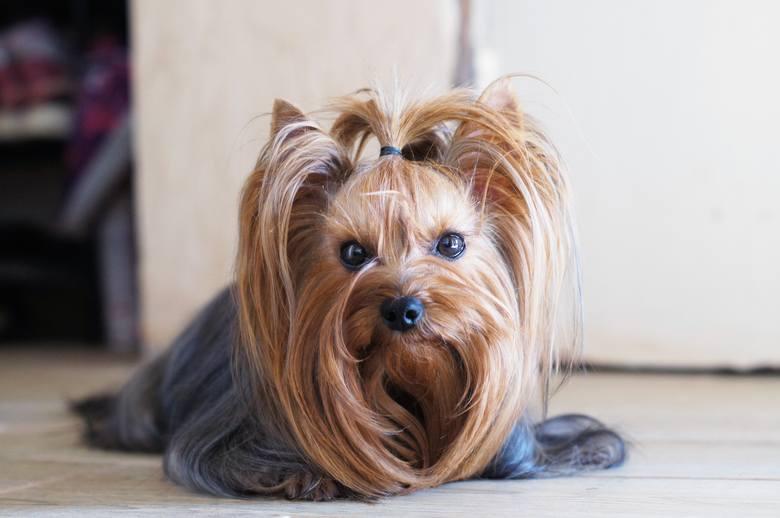 Są takie psy, które zamiast sierści mają włosy. Uważa się, że te rasy okażą bezpieczniejsze dla alergików. Niestety, nie jest to regułą, a to, czy włos
