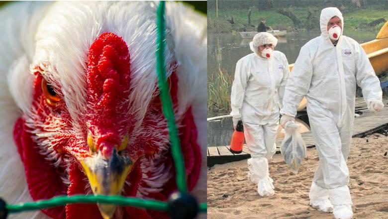 Ptasia grypa. Najgroźniejszym obecnie szczepem wirusa jest szczep H5N1. Wywołuje on masowe padanie ptactwa, zwłaszcza drobiu. Ptasią grypą może zarazić