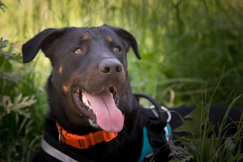 Malkolm to młody, około 2-letni, piękny i duży pies w typie owczarka francuskiego (beauceron). Jako pies pasterski/zaganiający uwielbia ruch, jest bardzo