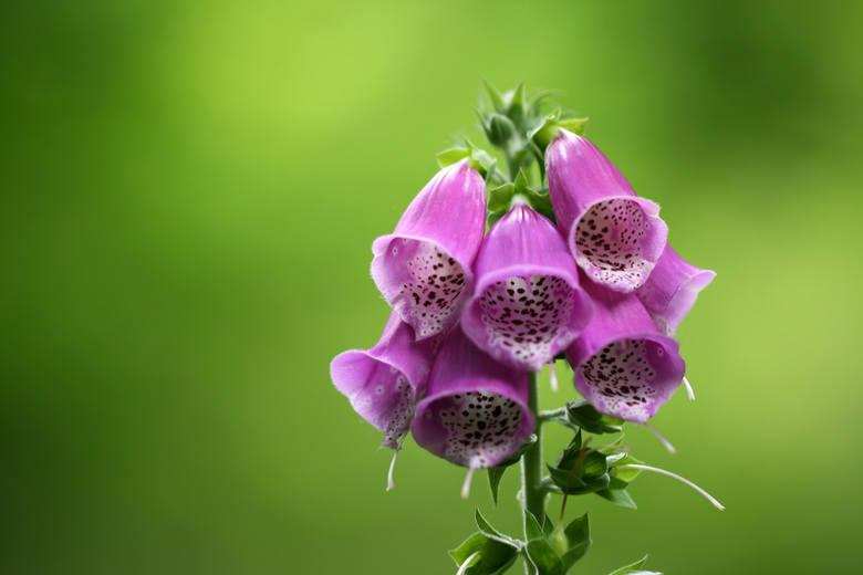 Te piękne rośliny są śmiertelnie niebezpieczne. Nie dajcie się zwieść ich urodzie: są trujące