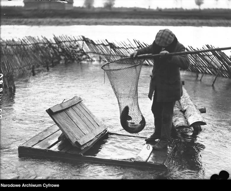 Wędkowanie na archiwalnych zdjęciach. Wylęgarnia ryb łososiowatych w Nowym Targu - wyjmowanie sakiem złowionego na wędkę łososia. 1930 rok.