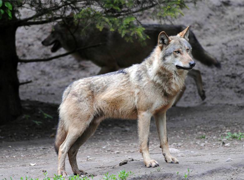 """Wilk to zwierzę owiane złą sławą, głównie przez znaną wszystkim baśń """"Czerwony kapturek"""" spisaną przez Charles'a Perraulta, a następnie"""