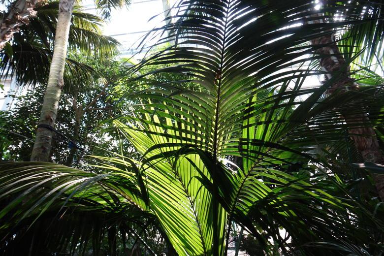Wiosna zapanowała także w Palmiarni, do której na przechadzkę wśród egzotycznej zieleni można wybrać się jutro i w niedzielę (w godz. 10-18). Tutaj kwiatami