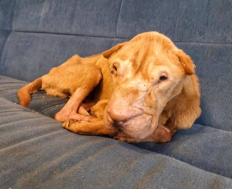 Niestety mimo interwencji Toruńskiego Towarzystwa Ochrony Praw Zwierząt psa nie udało się uratować