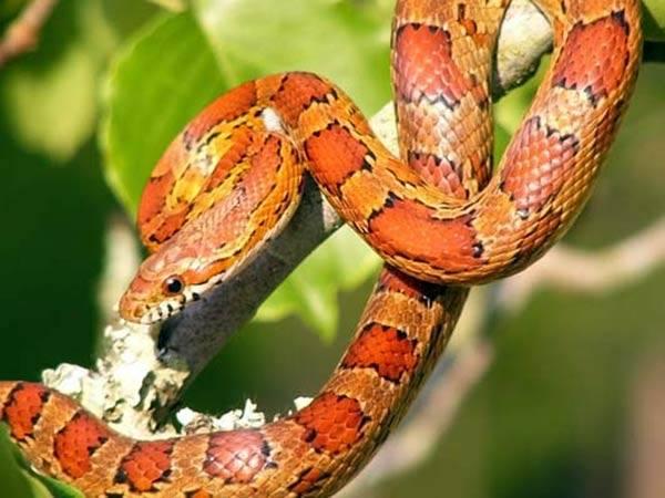 Ten typ węża charakteryzuje się pomarańczowym ubar-wieniem.