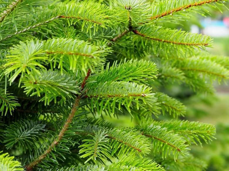 Jaka choinka na święta do domu?JODŁAJodła - zimnozielone drzewo z rodziny sosnowatych - dorasta nawet do 100 metrów i jest jednym z najdroższych drzewek.Najczęściej