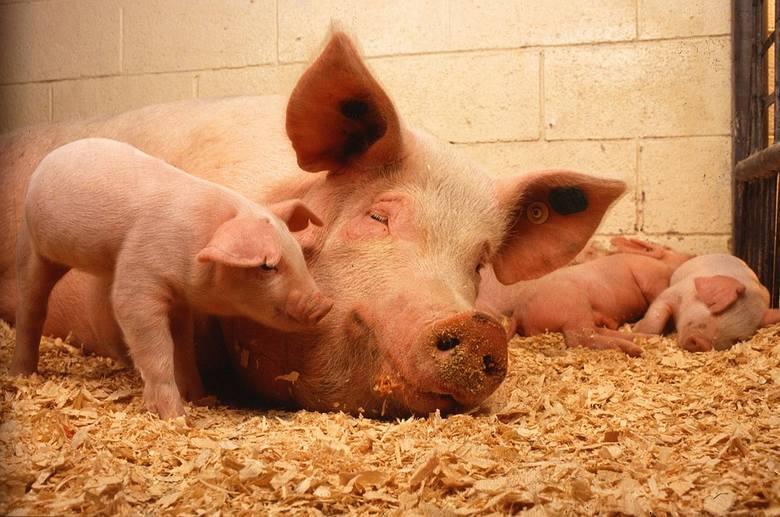 Co się stało z kilkoma setkami świń z powiatu włoszczowskiego? Ich właściciel szacuje straty na około pół miliona złotych