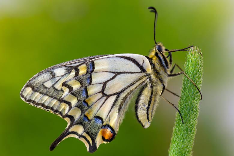 Najpiękniejszy polski motyl – paź królowej.<br />