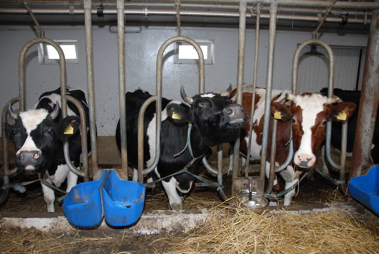 Aby rolnik mógł liczyć na wsparcie, musi mieć przynajmniej trzy krowy. Jednak stado nie może być też zbyt liczne –np.  60 krów to już za dużo