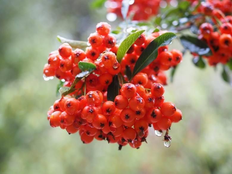 Ogniki mają owoce o żywych kolorach, które zdobią krzewy również zimą.