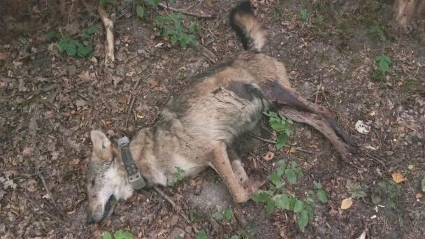 Dwa wilki - Kosy i Miko - zostały zastrzelone w lesie. Miko jest doskonale znany naszym Czytelnikom. To ten, który został potrącony przez samochód pod
