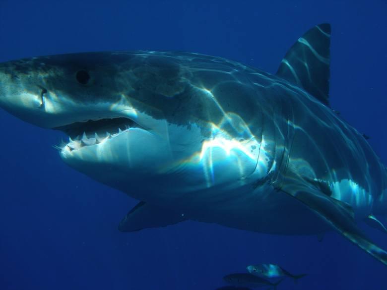 USA: Złapał rekina gołymi rękami i otworzył mu pysk, by zrobić sobie zdjęcie [FILM]