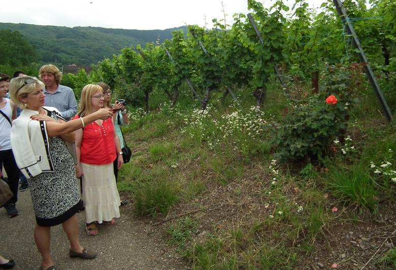 Winny biznes w Alzacji- Róże są dla winorośli swoistym barometrem zagrożeń – mówi Marta Wach.