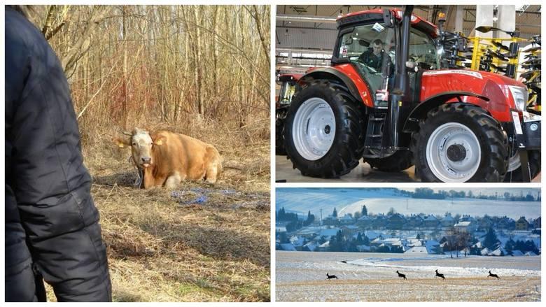 Agro wieści tygodnia: modernizacja gospodarstw - nabór, padła krowa-uciekinierka