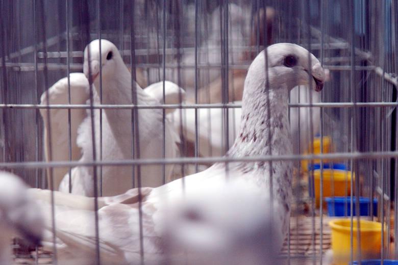 W najbliższy weekend na największej w kraju wystawie, w halach MTS spotkają się hodowcy gołębi.