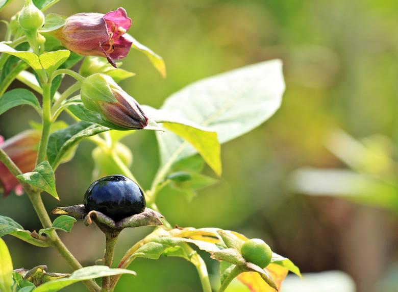 Pokrzyk wilcza jagoda to śmiertelnie niebezpieczna roślina. Niestety takich roślin jest więcej, a ich owoce bywają mylone z jadalnymi.