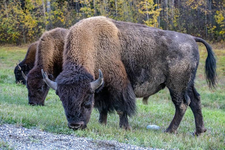 Ważną częścią wyprawy jest dla nich poznawanie życia dzikich zwierząt: niedźwiedzi, bizonów, łosi. Podróżnicy wrażeń szukają też w opuszczonych przez ludzi miejscach, m.in., w niedziałającej kopalni miedzi czy miasteczku, które opustoszało, gdy opadła gorączka złota.