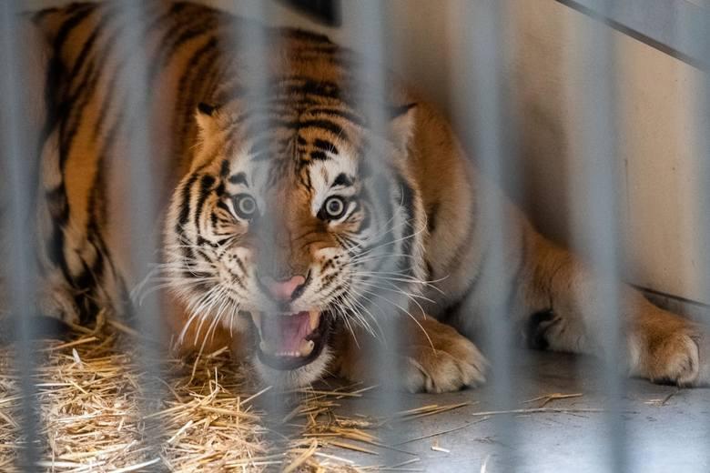Siedem tygrysów z nielegalnego transportu do Rosji przebywa obecnie w poznańskim zoo. Objęte są 30-dniową kwarantanną. Były przewożone w samochodzie