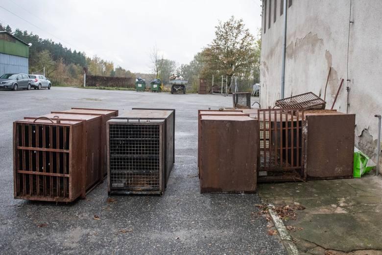 """Tygrysy uratowane przez zoo w Poznaniu: Są cenniejsze od złota i kokainy. """"Nielegalny handel egzotycznymi zwierzętami musi się skończyć"""""""