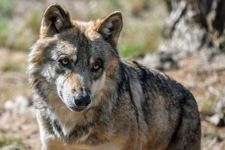 Jak zachować się podczas spotkania z wilkiem i co zrobić, żeby nie podchodziły do ludzi? Poznaj podstawowe zasady