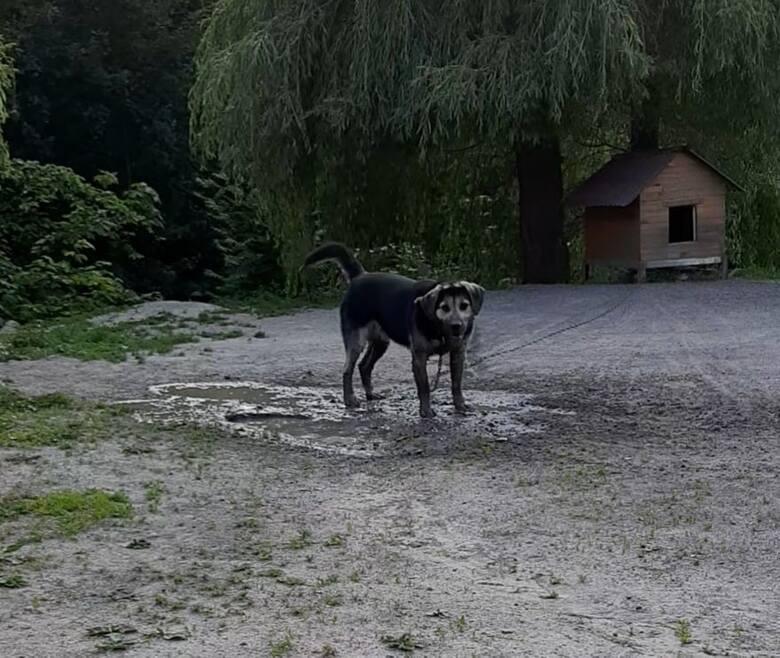 Pies, którego zagryzły wilki.