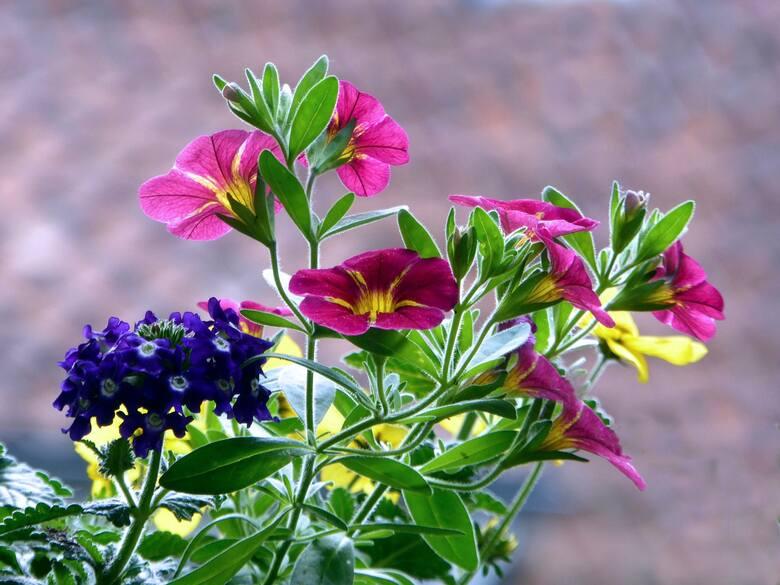 Rośliny na balkon mają swoje wymagania. To nie jest tak, że każdy kwiatek, który wpadnie nam w oko, możnemy zasadzić w doniczce na balkonie.Są takie