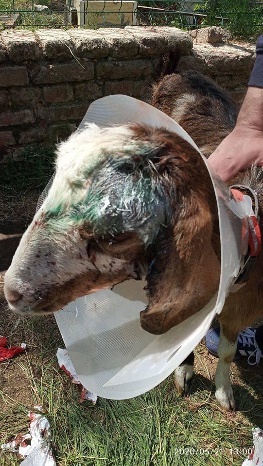Zwyrodnialec skatował kozę, bo… chciał ją zgrillować. Zwierzę cudem przeżyło. Lekarz weterynarii był wstrząśnięty bezmiarem bestialstwa