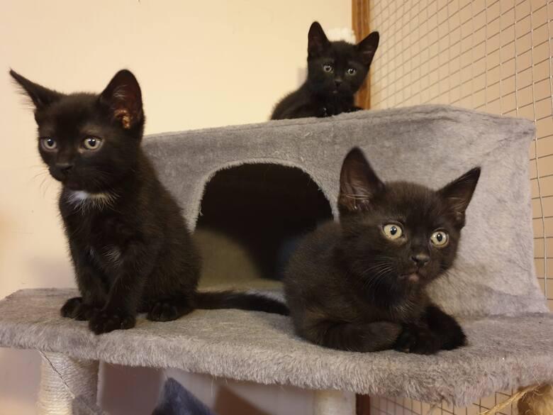 Te trzy kociaki szukają nowego domu, tymczasowo dom mają w Grand Kotelu w Bydgoszczy.