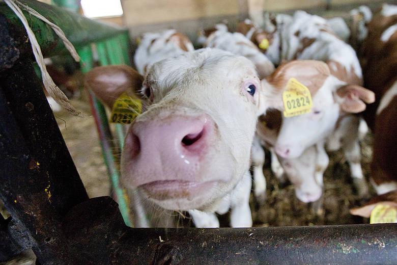 Jeśli przygotowywane przepisy wejdą bez zmian, każdy, kto będzie chciał u rolnika krowę, zostanie odnotowany.