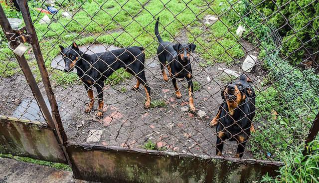 To tych psów boją się mieszkańcy ul. Czaplej. Kiedy przyjechaliśmy na miejsce, były zamknięte za bramą.
